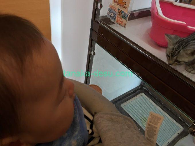 ペットショップで猫を見ている赤ちゃん